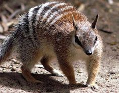Numbats are carnivorous and feed on termites with their long, sticky tongues. They have one litter per year and shelter in hollow tree logs. Especie Animal, Animal Facts, Mundo Animal, Unusual Animals, Rare Animals, Animals Beautiful, Strange Animals, Wild Animals, Extinct Animals