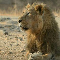Asiatic Lion at Gir National Park, Sasan Gir, Gujarat, India