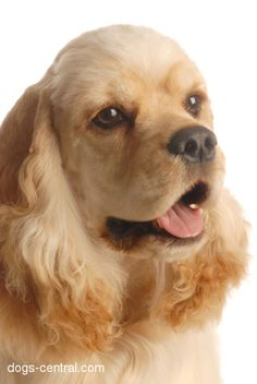 American Cocker Spaniel. Looks like a dog I used to have named Rusty. He went to Heaven in 1988.