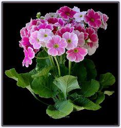 Onbiray Çiçeği | Bakımı, Yetiştirilmesi, Çoğaltılması - Forum Gerçek