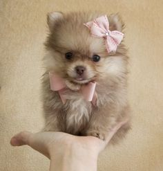 Teacup Chocolate Cream Pomeranian Princess She Fits in the Palm of Your Hand! Very Rare Color! She is Spectacular!!!