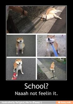 Shiba inu going for a walk...this is exactly how mine use to act. :P