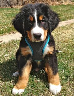 Adorable Bernease Mountain Dog puppy