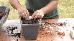 Você sabia que pode cultivar o alho dentro de casa? Ele é muito fácil de ser cultivado em vasos, e a única coisa que precisamos é ter bastante paciência.