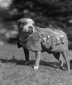 SGT. STUBBY  Sergeant Stubby, who lived from 1916–1927, was the most decorated war dog of World War I and the only dog to be promoted to sergeant through combat. Stubby served with the 102nd Infantry, 26th (Yankee) Division in the trenches in France   for 18 months and participated in four offensives and 17 battles. The dog became a lifetime member of the American Legion and later became Georgetown University's mascot. In 1921, Stubby was awarded a gold hero dog's medal that was commissioned…