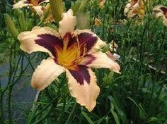 WILD HORSES~ Day Lilies, Wild Horses, Lily, Flowers, Plants, Orchids, Plant, Royal Icing Flowers, Wild Mustangs