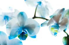 garden plants with blue flowers free wallpaper Perennial Flowering Plants, Perennials, Blue Orchids, Blue Flowers, Orchid Flowers, Blue Roses, Flower Images, Flower Photos, Flowers Nature