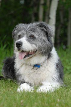 Jengo - An adopted Old English Sheep Dog mix