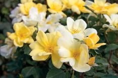 Sunny Knock Out® Rose - Roses - Stark Bro's