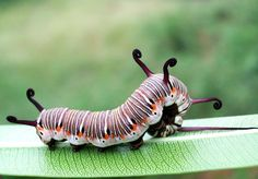 common Indian crow butterfly caterpillar, India, photo by Maneesh Kaul