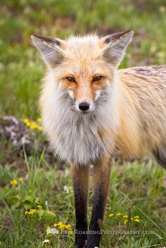 A red fox stands in a grassy meadow with wildflowers in Grand Teton National Park, Wyoming.