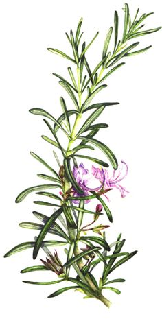 Botanical illustration of rosemary showing a linear simple leaf