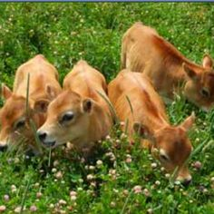 Miniature dairy (jersey) cows! I will have one of these some day!