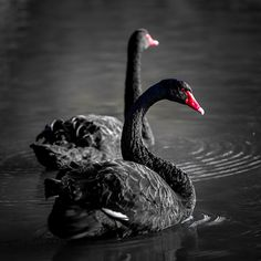 Black Swans - Two black swans swimming in a lake. The background is desatuarated.