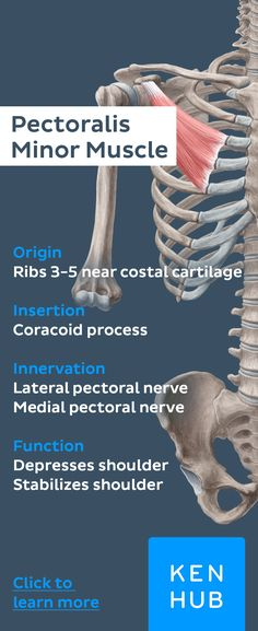 The pectoralis minor originates from the third to fifth ribs, and inserts on the coracoid process of the scapula #musclefacts #learn #anatomy