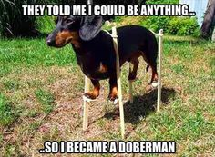 My mini-dachshund sometimes acts like he thinks he can whip a doberman. I think he'd really try it if he had the opportunity! Talk about attitude!