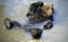 Bear relaxing in the water  #animal #bear #relaxing #water