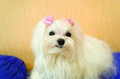 How to Groom a Maltese Dog