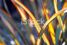 A close up of Harakeke lit up by the sun. This New Zealand Flax is. New Zealand Flax, Close Up Photos, Image Now, Royalty Free Stock Photos, Queen, Orange, Photography, Maori, Photograph