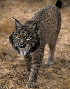 Iberian Lynx. Criticaly endangered. There is still discussion as to whether this lynx is the same species as the Canadian and Siberian lynx.