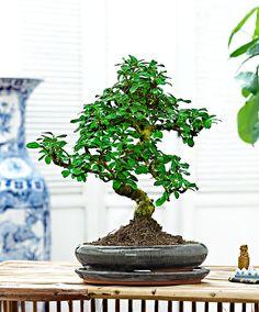 Bonsai Carmona | Plantor | Bakker Holland