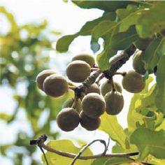 Pulaaku, the Fulani way : The Harmeji Jeedhidhi's 8th commandment: Kala ko hebaa ena rennda, means 'share, cultivate generosity'. Shea nuts on a branch, in its  tree .