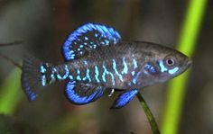 $6 :: N. American Native! Gulf Coast Pygmy Sunfish - Elassoma gilberti (male shown) :: Current Size: 0.25 - 0.5 in, Maximum Size: 0.75 - 1 in :: For a continual population, breed in a non-crowded planted aquarium, and feed live foods. Aquacultured specimens should survive for a year to 18 months (Wild live for about a year, most adults dying after the breeding season) http://www.zimmermansfish.com/Price.html Zimmerman's N. American Native Fish!