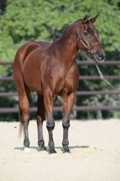 Scamper world champion barrel horse