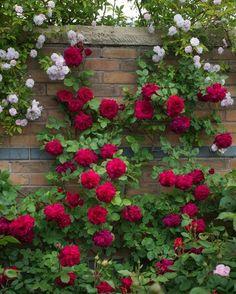 Rose Tess of The d'Urbervilles, Rosa 'Tess of The d'Urbervilles', English Rose 'Tess of The d'Urbervilles', David Austin Roses, English Roses, Red roses, shrub roses, Rose Bushes, Garden Roses, fragrant roses, Favorite roses