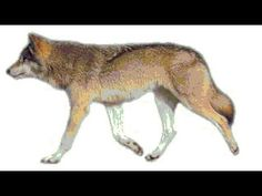 A very realistic wolf animation with very relaxing background music...?