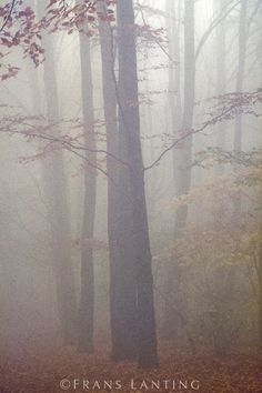 Beech forest in mist, Fagus sylvatica, Netherlands