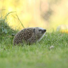 Tee siilille talvipesä - Make a Winter Nest for a Hedgehog Text Outi Tynys, photo 123rf