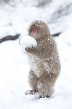funny monkey holding a big snowball