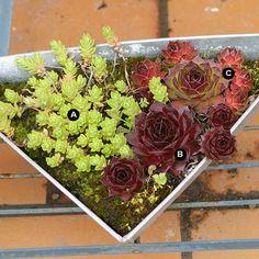Fiery Forces A. Creeping sedum (Sedum sarmentosum) -- 1 B. Firebird hen-and-chicks (Sempervivum 'Firebird') -- 1 C. Glowing Embers hen-and-chicks (Sempervivum 'Glowing Embers') -- 1 Succulents In Containers, Cacti And Succulents, Planting Succulents, Container Flowers, Succulent Gardening, Container Gardening, Succulent Ideas, Succulent Planters, Gardening Hacks