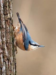Sitta europaea - Pica-soques blau - Trepador azul - Eurasian Nuthatch