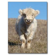 Snowball the Highland calf Postcard -- 75% off cards + 10% off all products    USE CODE: LASTMINCARDS