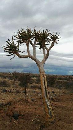 Aloe dicotoma  Jan.2017