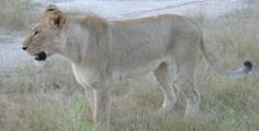climate change Africa | lioness in the Okavango Delta, Botswana
