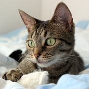 Your cat may be a beloved companion, but even the most well-behaved cat can sometimes have an accident. If your cat urinates on your sofa, the smell often lingers, even after you've cleaned the spot. Worse yet, cats may return to the site of previous accidents to urinate again. This makes getting rid of the stain crucial. Fortunately, rinsing the...