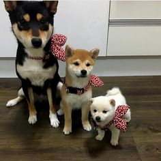 Shiba inuさんはInstagramを利用しています:「家族  ---> ❤️ Generations of Shiba inu By @shiba_mizz ' Follow @shiba_of_insta for more via @proudshibas Love to tag? Please do!⤵  …」