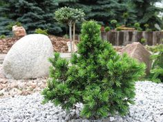 Picea-omorica-Wodan Plants, Gardens, Plant, Planets