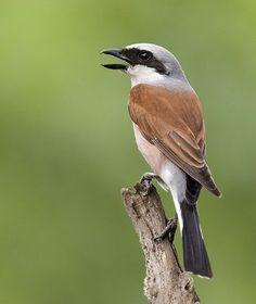 Small Birds, Little Birds, Love Birds, Beautiful Birds, Pet Birds, Tropical Birds, Colorful Birds, Wild Photography, Different Birds