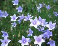 Wahlenbergia undulata Colorful Flowers, Wild Flowers, Organic Fertilizer, Types Of Plants, Summer Garden, Green Leaves, Garden Inspiration, Perennials, Planting Flowers