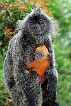 Silvered Leaf Monkey and baby