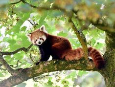 Red pandas, the bushy-tailed and russet-furred bamboo munchers that dwell in Asian high forests, are not a single species but rather two distinct ones, according to the most comprehensive genetic study to date on these endangered mammals. Animals And Pets, Baby Animals, Cute Animals, Wild Animals, Red Panda Cute, Bear Species, Sitting In A Tree, Fluffy Kittens, Wildlife Park