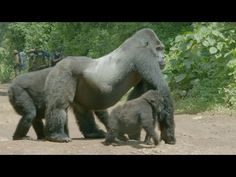 A family of gorillas wait to cross the road - Gorilla Family & Me: Episo. Orangutan Monkey, Monkey Species, Angel Protection, New World Monkey, Silverback Gorilla, Ape Monkey, Mountain Gorilla