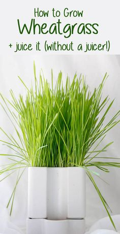 Do you love wheatgrass juice, and want to make your own? This easy tutorial will show you How to Grow Wheatgrass, and then also How to Juice Wheatgrass (without a juicer! Wheat Grass Shots, Growing Wheat Grass, Green Drink Recipes, Kombucha How To Make, Fermentation Recipes, Champagne Taste, Juicing For Health, Healthy Juices, Fermented Foods