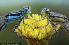 Adult damselflies (pictured) eat flies, mosquitoes, and other small insects, while some larger tropical species have been known to feast on ...