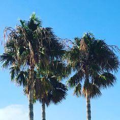 #spain #kanaren #canarias #palmen #lanzarote #futeventura #instatraveling #instagram #palm #palmtrees