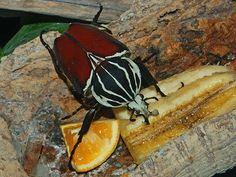 11 exceptional Creatures from the Insects Realm - Did you know that insects are actually considered animals? It may sound incredibly bizarre, but it is actually true. Goliath Beetle, Beetle Insect, Weird And Wonderful, Creatures, Pets, Beetles, Ladybugs, Spiders, Butterflies